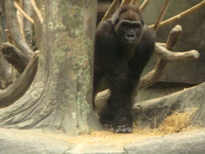 Scary Gorilla!